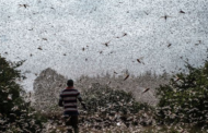 Au Kenya, l'inlassable chasse aux criquets pèlerins