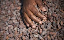 [Cacao] Les négociants ivoiriens exigent la fin du monopole des multinationales
