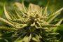 [Cannabis] La légalisation plébiscitée par 80% des Français sondés