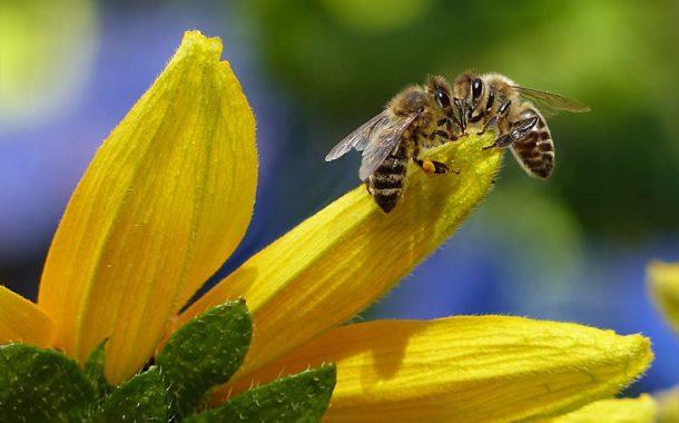 [Nature] Des abeilles pour détecter le covid